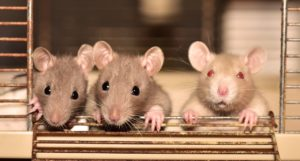 3-rats-in-a-cage